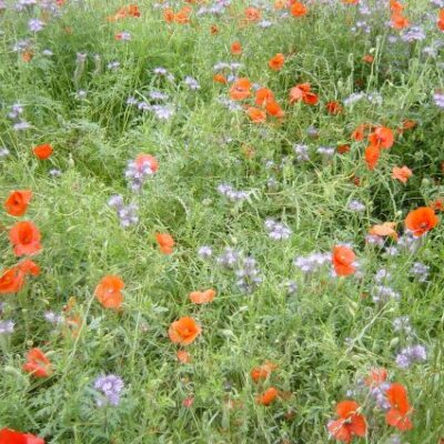 UK Native General Purpose Wild Flower Seed Mix
