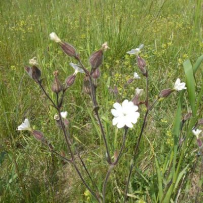 UK Native Dry Soils Wildflower Seed Mix Online