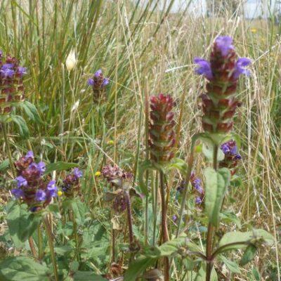 UK Native Wet Soils Seed Mix