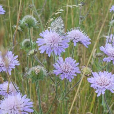 UK Native Calcareous Soils Wild Flower Seed Mix