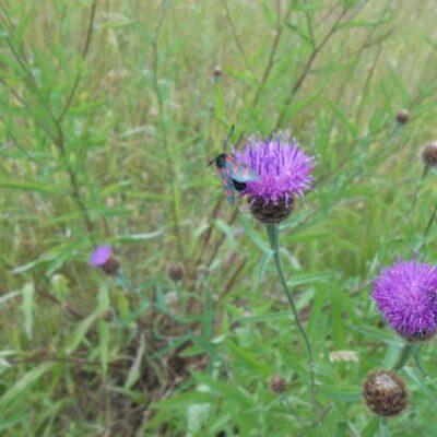 UK Native Acidic Soils Wild Flower Seed Mix
