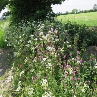 UK Native Shady Mix - Hedgerow Wild Flower Seeds Online