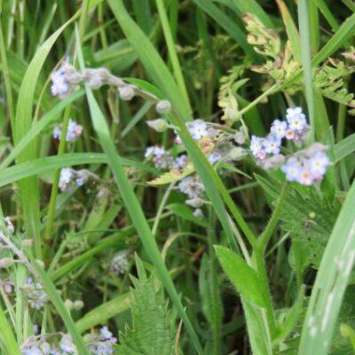 UK Native Low Growing Seeds Online