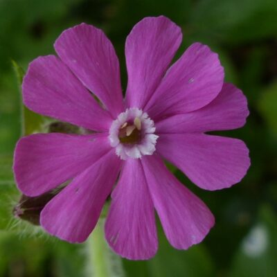 Red Campion Seeds Online