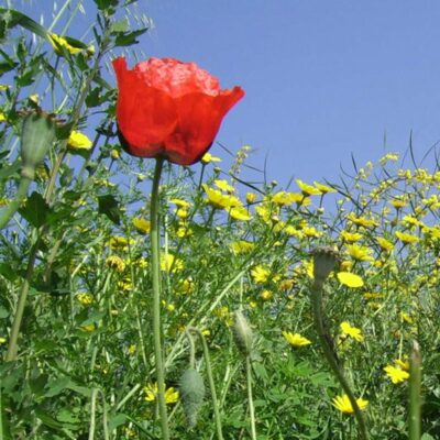 Field Poppies Seeds Online