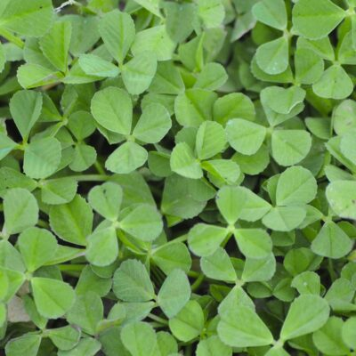 clover lawn seed